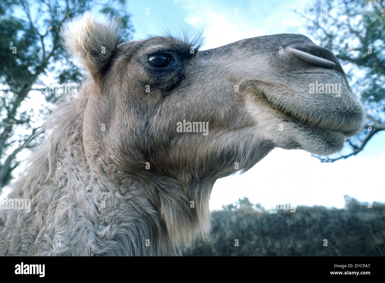 Camels like this one-humped dromedary in Australia have ...