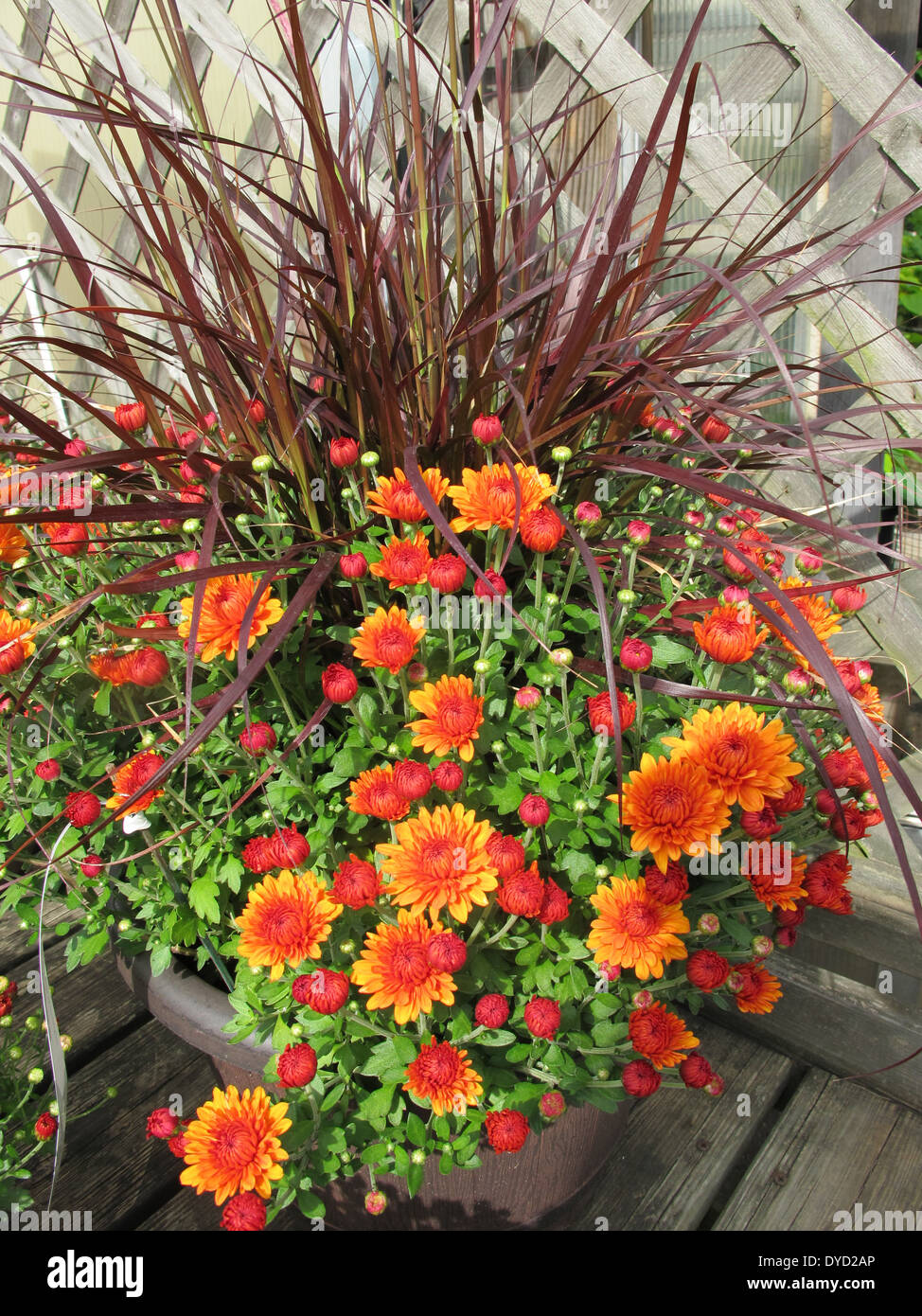 A beautiful arrangement of orange and red mums in a flower pot