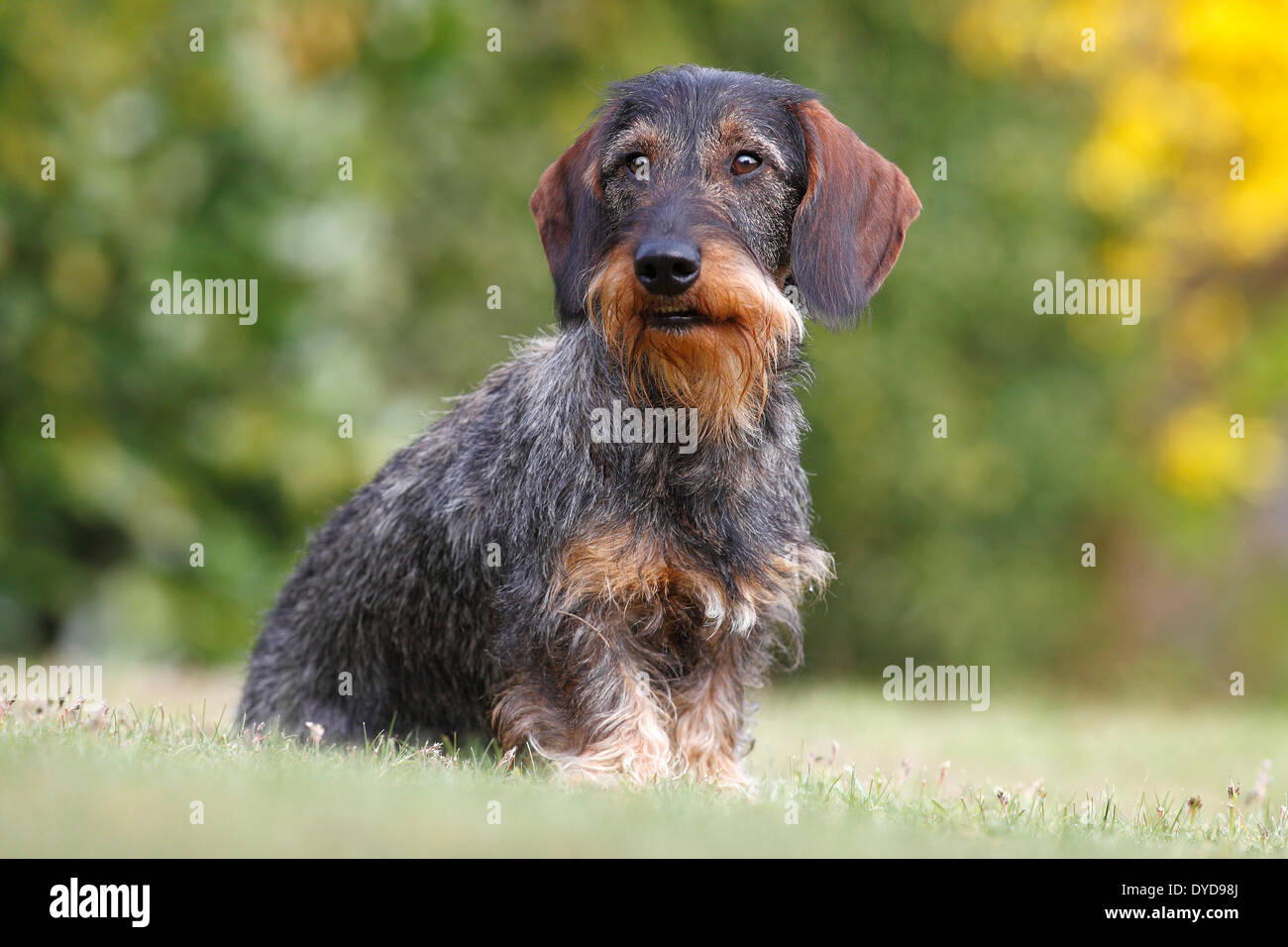 Wonderful german wirehaired dachshund contemporary electrical and wire haired dachshund male sitting in the grass germany stock asfbconference2016 Gallery