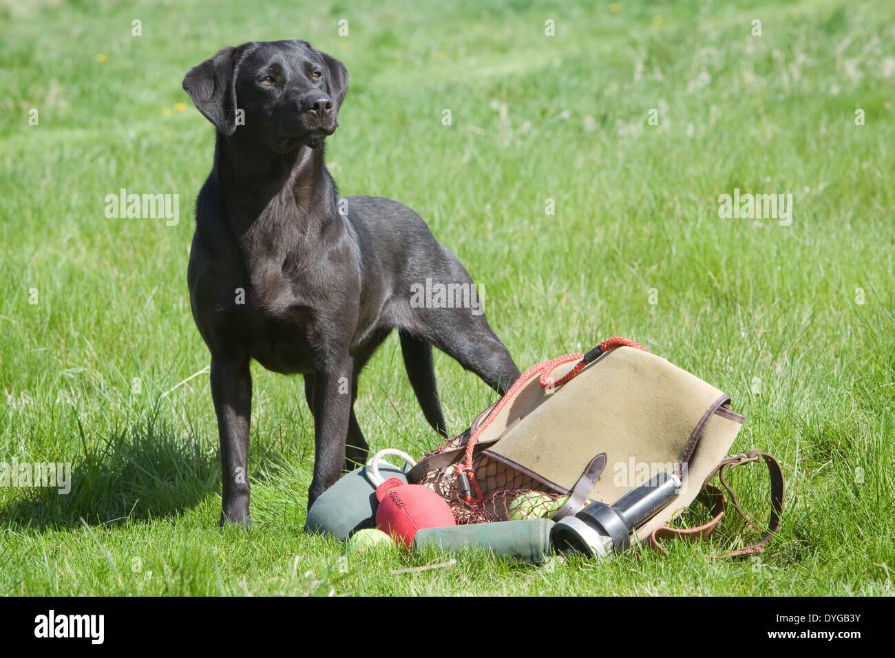 A Black Labrador Retriever Working Dog Photographed With A
