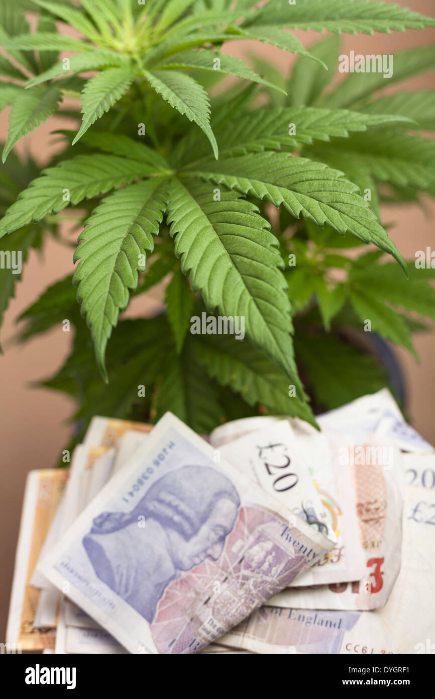 Marijuana business concept cannabis plant with banknotes in british marijuana business concept cannabis plant with banknotes in british currency biocorpaavc Images