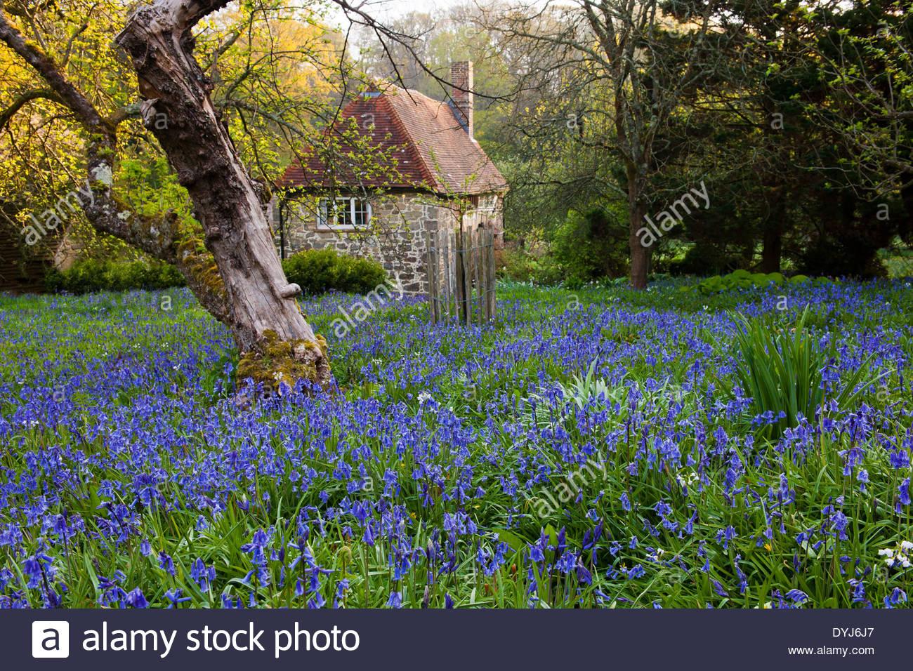 English Bluebells Hyacinthoides Non Scriptus Wildflower Garden View House  Cottage Native Wild Woodland Trees Spring