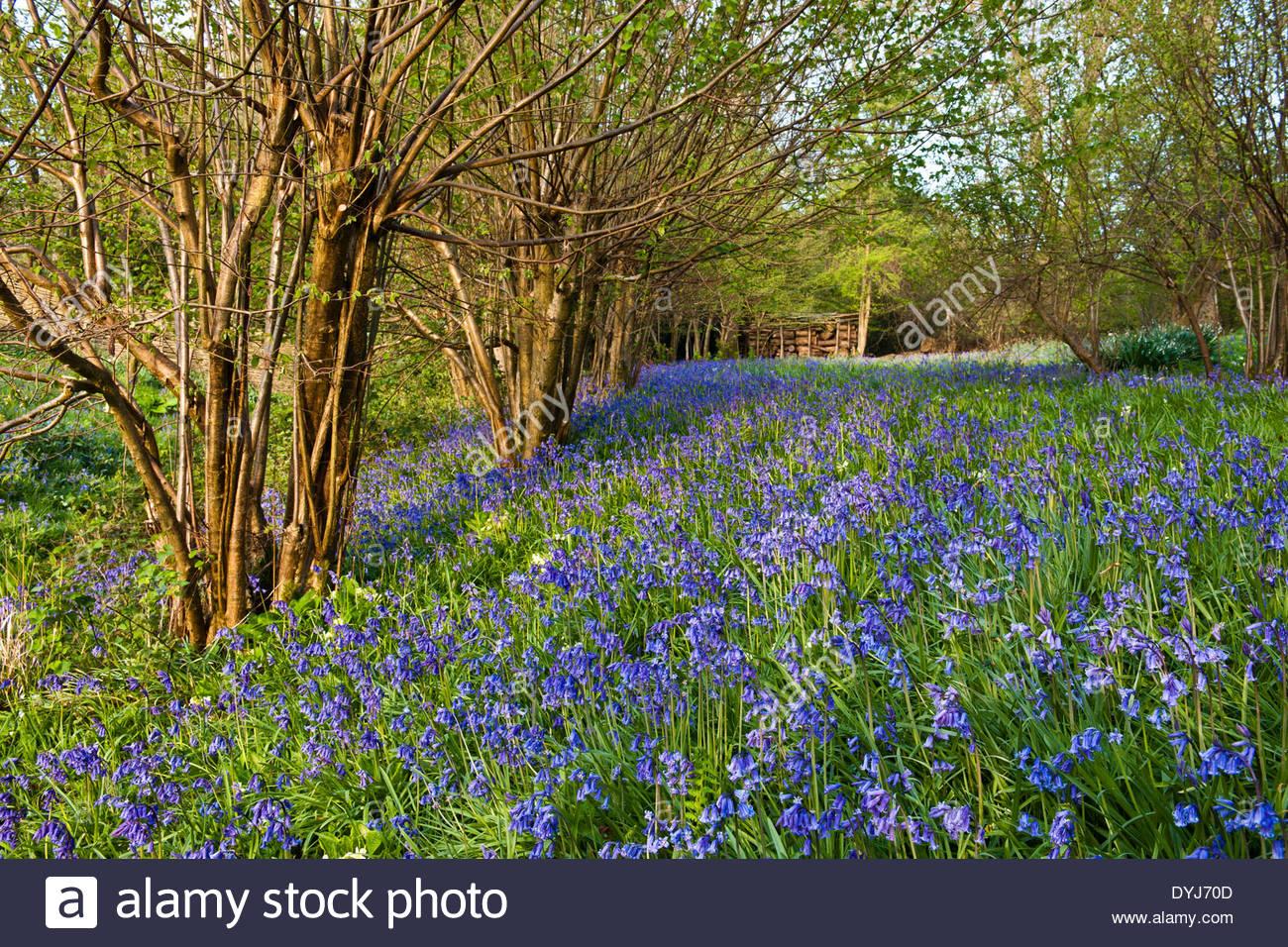 ... English Bluebells Hyacinthoides Non Scriptus Wildflower Garden View  Hazel Coppice Corylus Avellena Native Wild Woodland