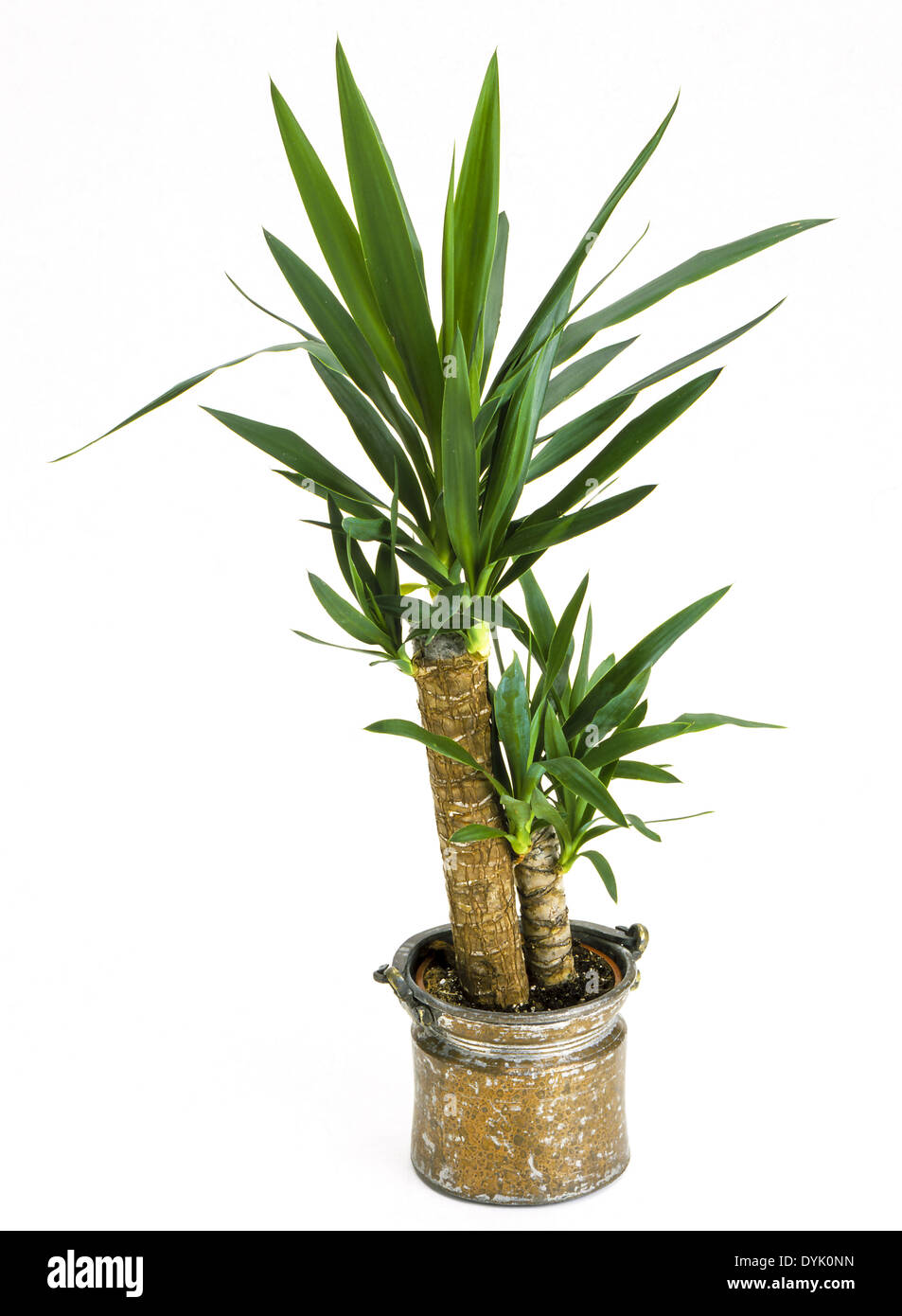 zimmerpflanzen yucca palme in einem topf indoor plants yucca palm stock photo royalty free. Black Bedroom Furniture Sets. Home Design Ideas