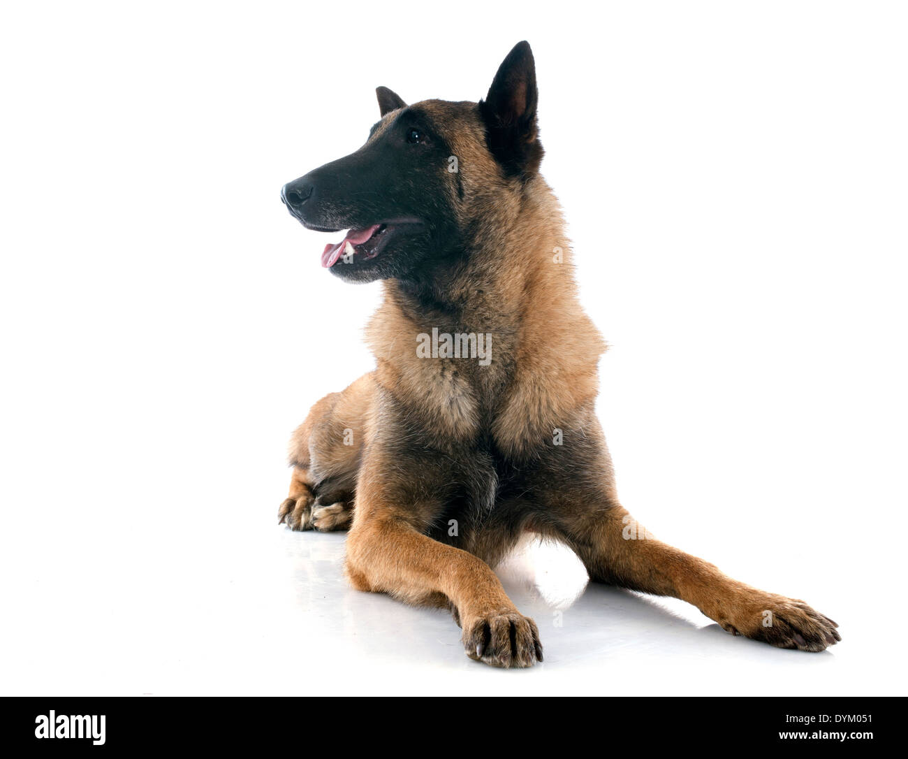 belgian shepherd in front of white background Stock Photo ...