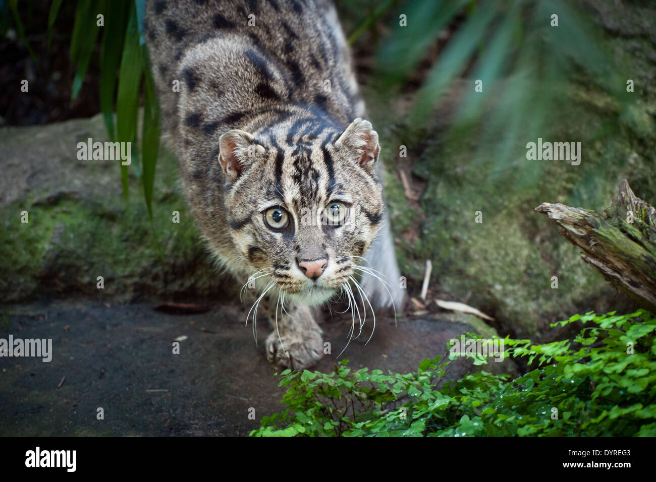 A view of a captive fishing cat prionailurus viverrinus for The fishing cat