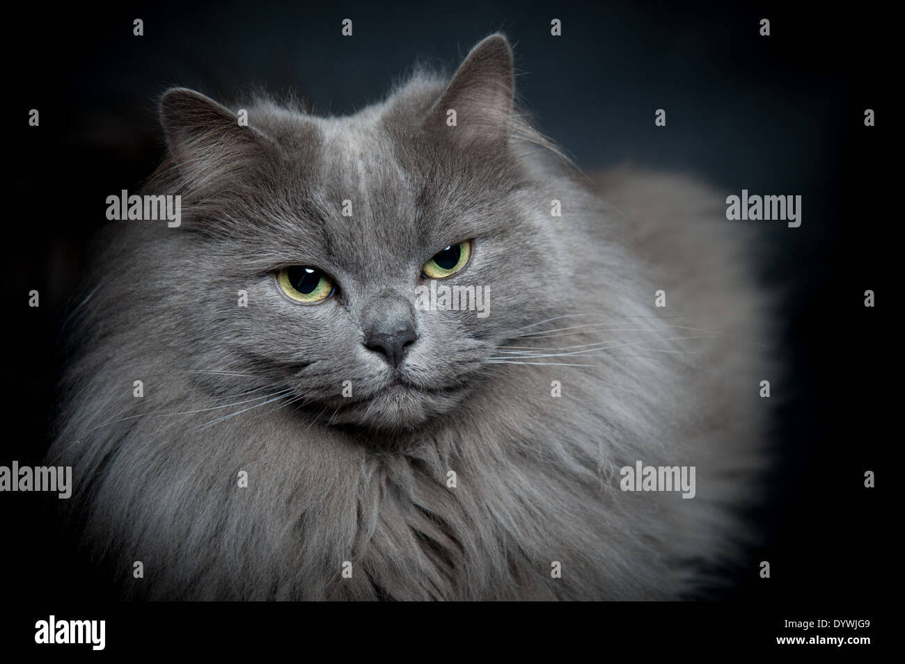 Long Haired Blue Cat Portrait Stock Royalty Free Image