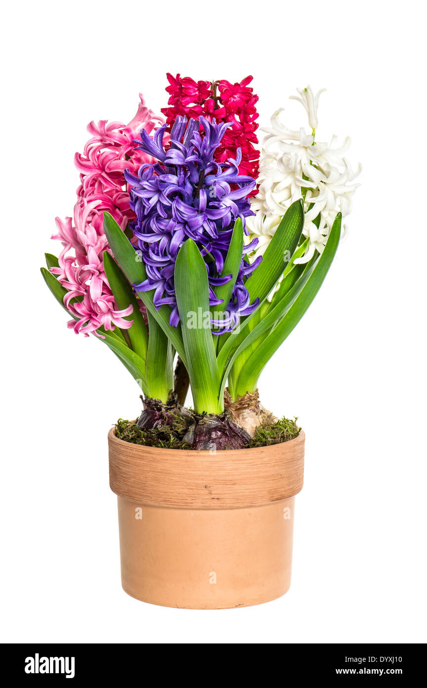 Pink white blue hyacinth flower in pot on white background spring stock photo royalty free - Planting hyacinths pots ...