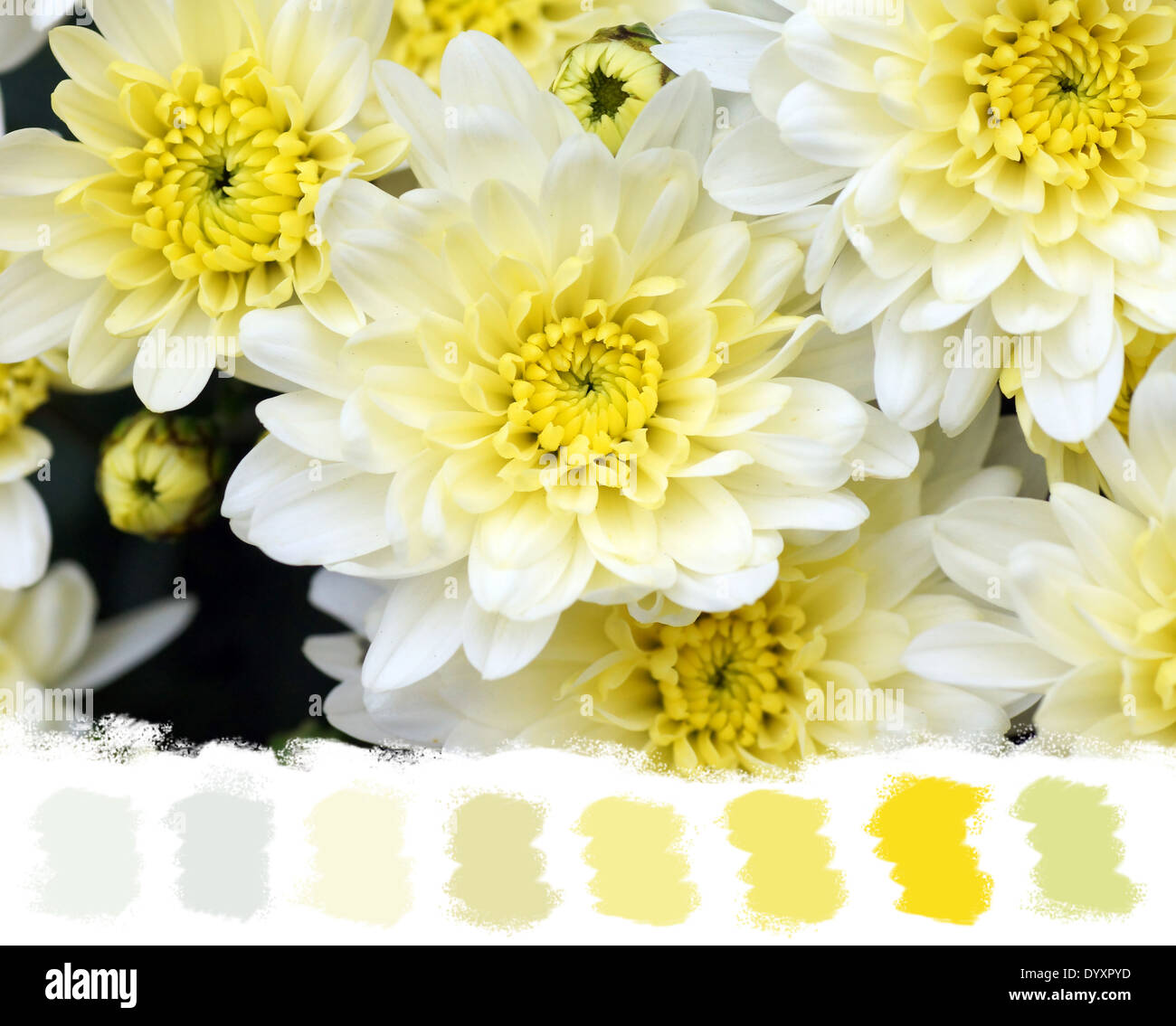 White and yellow mums flowers beautiful and soft color palette white and yellow mums flowers beautiful and soft color palette mightylinksfo