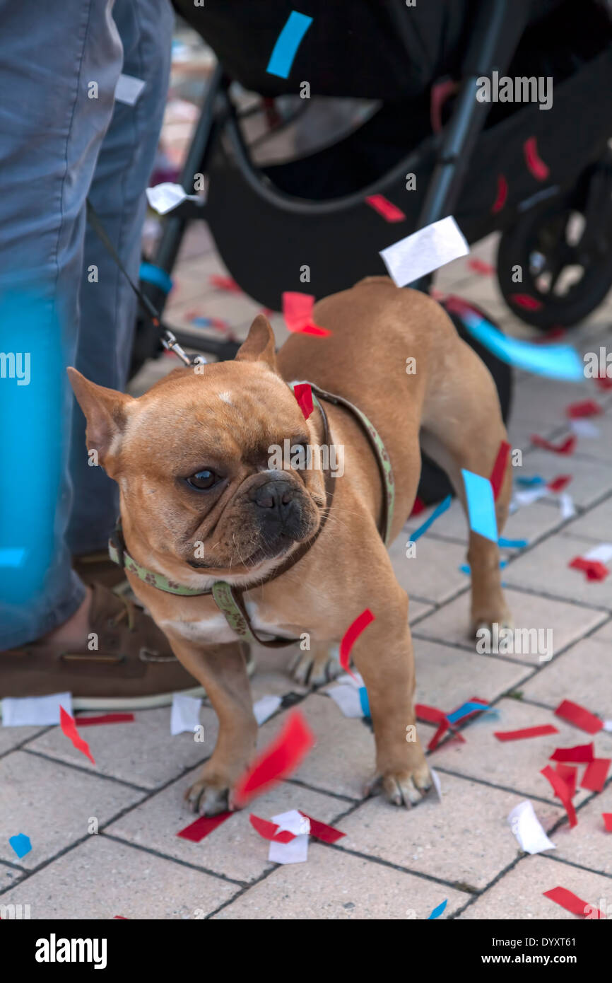 small-french-bull-dog-covered-in-confett