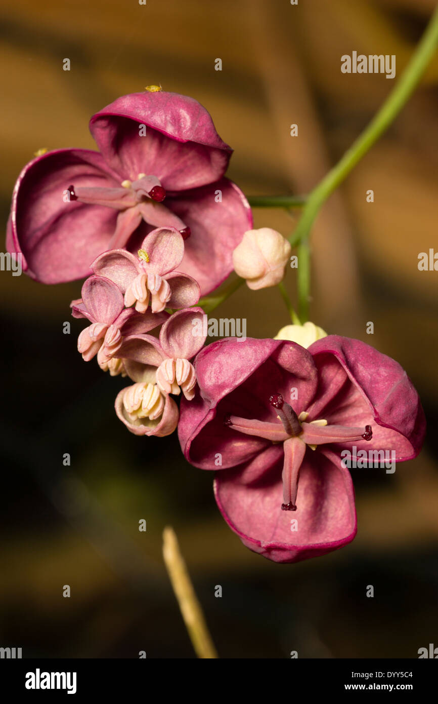Smaller male and larger female flowers of the chocolate vine ...