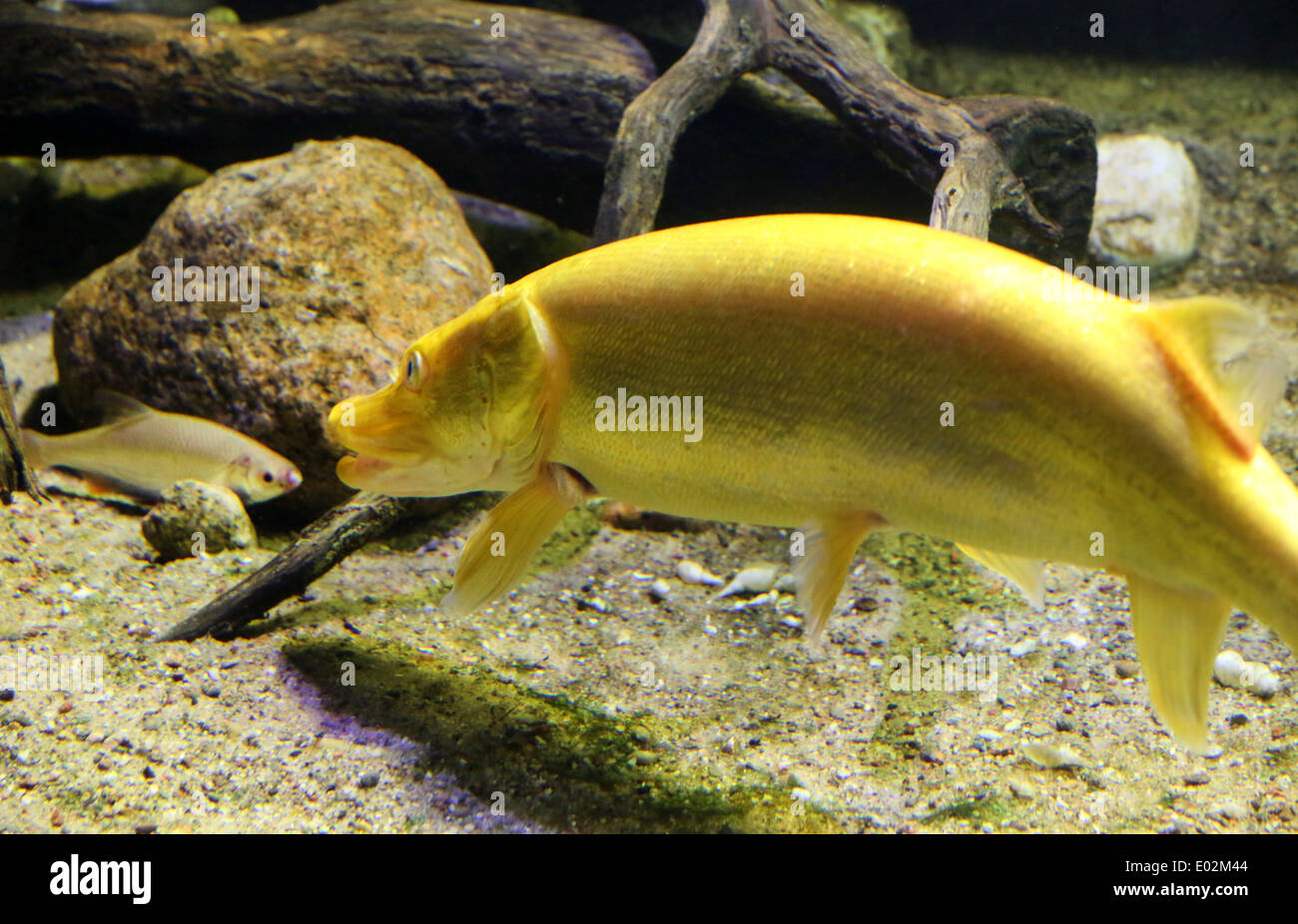Fish in new aquarium - A Golden Pike Swims In Its New Aquarium Next To A Roach Prey Fish In The Mueritzeum Nature Discovery Centre In Waren Germany 30 April 2014