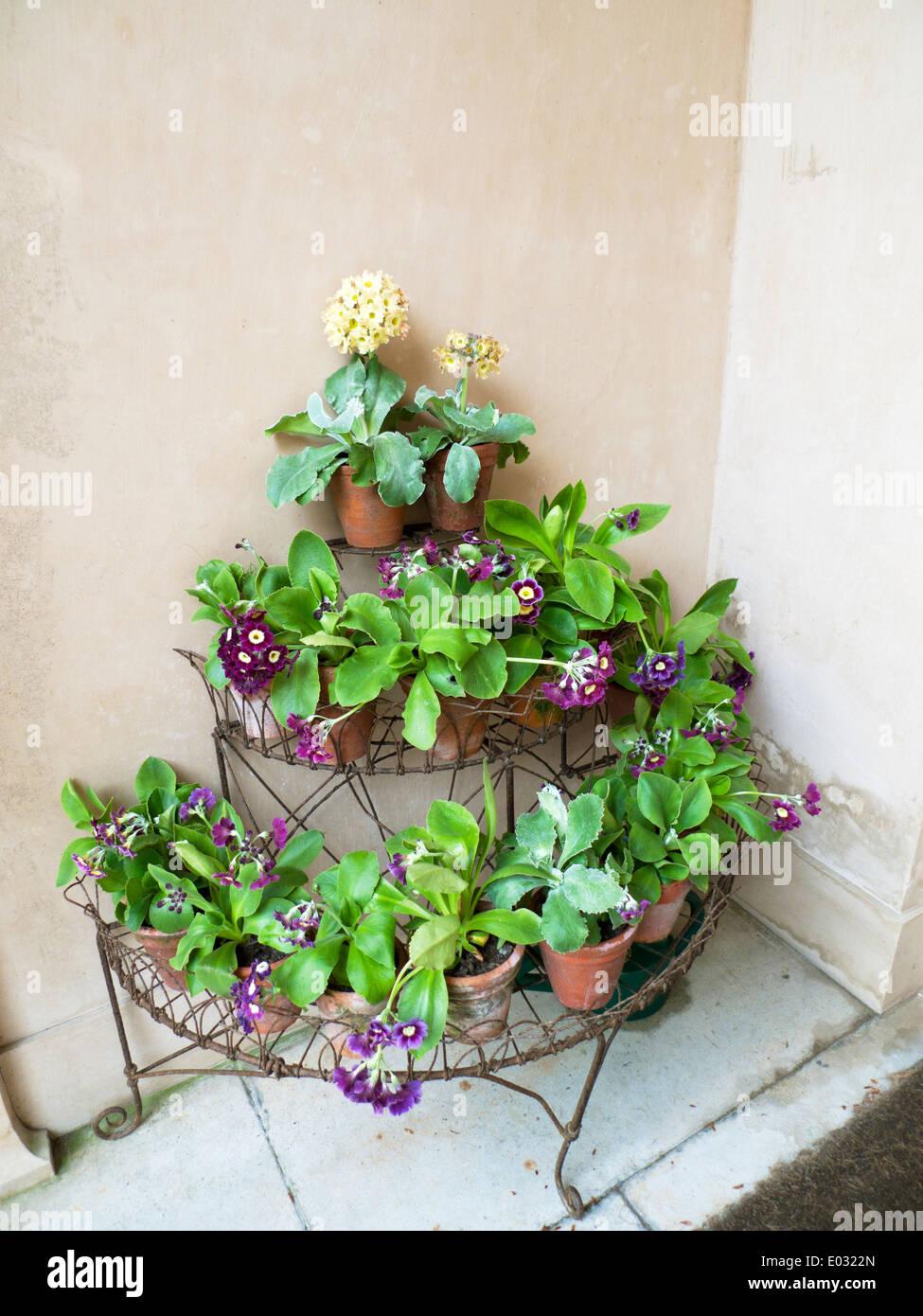 polyanthus plants in a victorian wire plant stand holder at ceredigion wales uk kathy dewitt