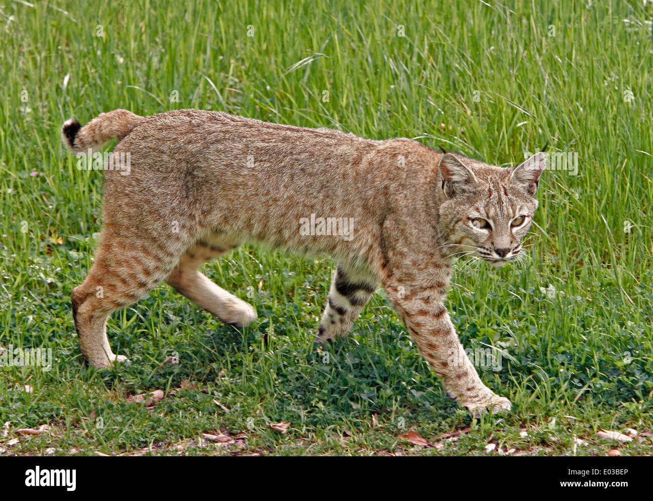 Wild adult bobcat walking through a meadow in northern ...
