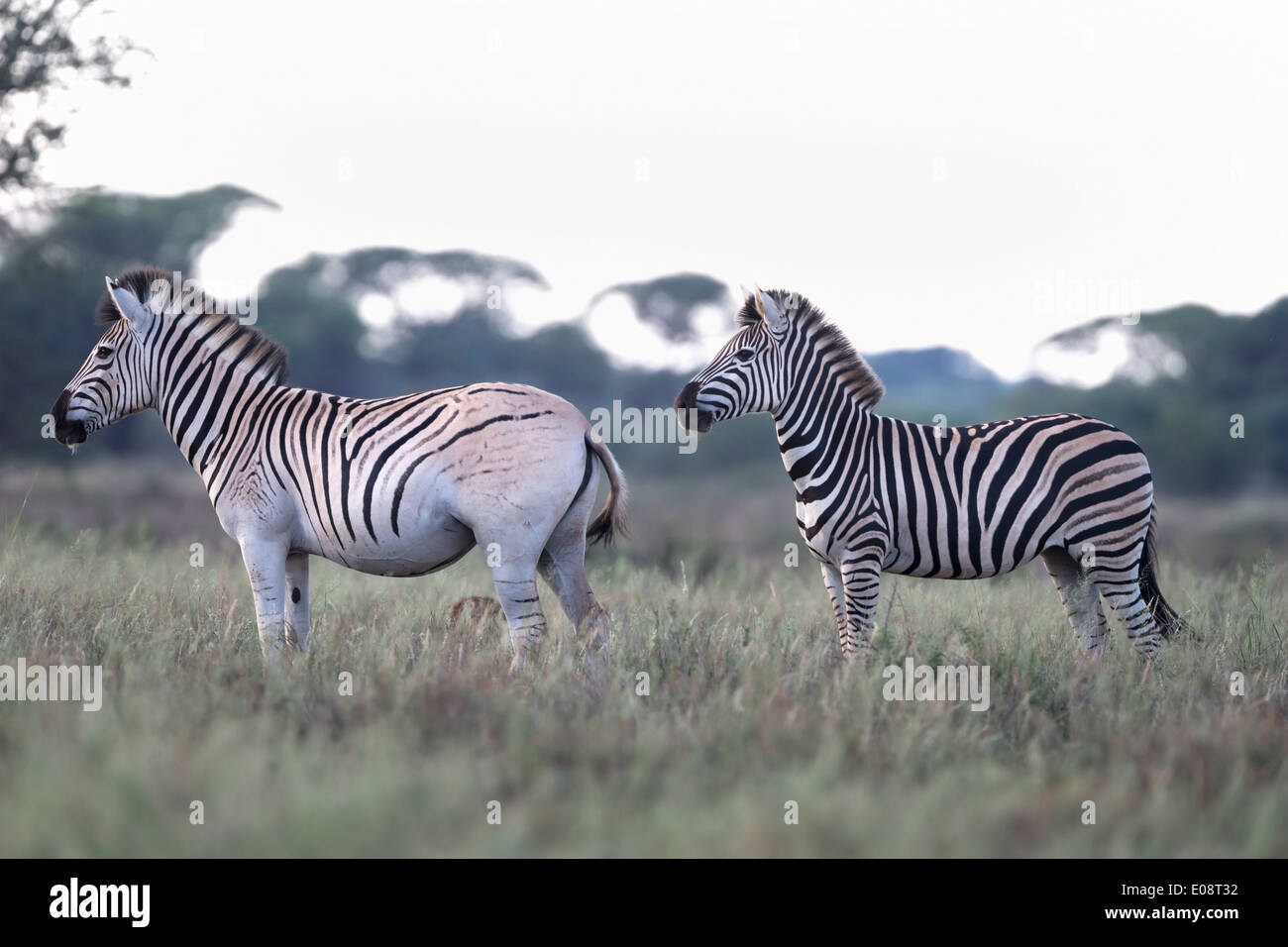 quagga project Selective breeding among those scientists who considered the quagga as having been the southern-most subspecies of the plains zebra, were otto antonius, zoo director.