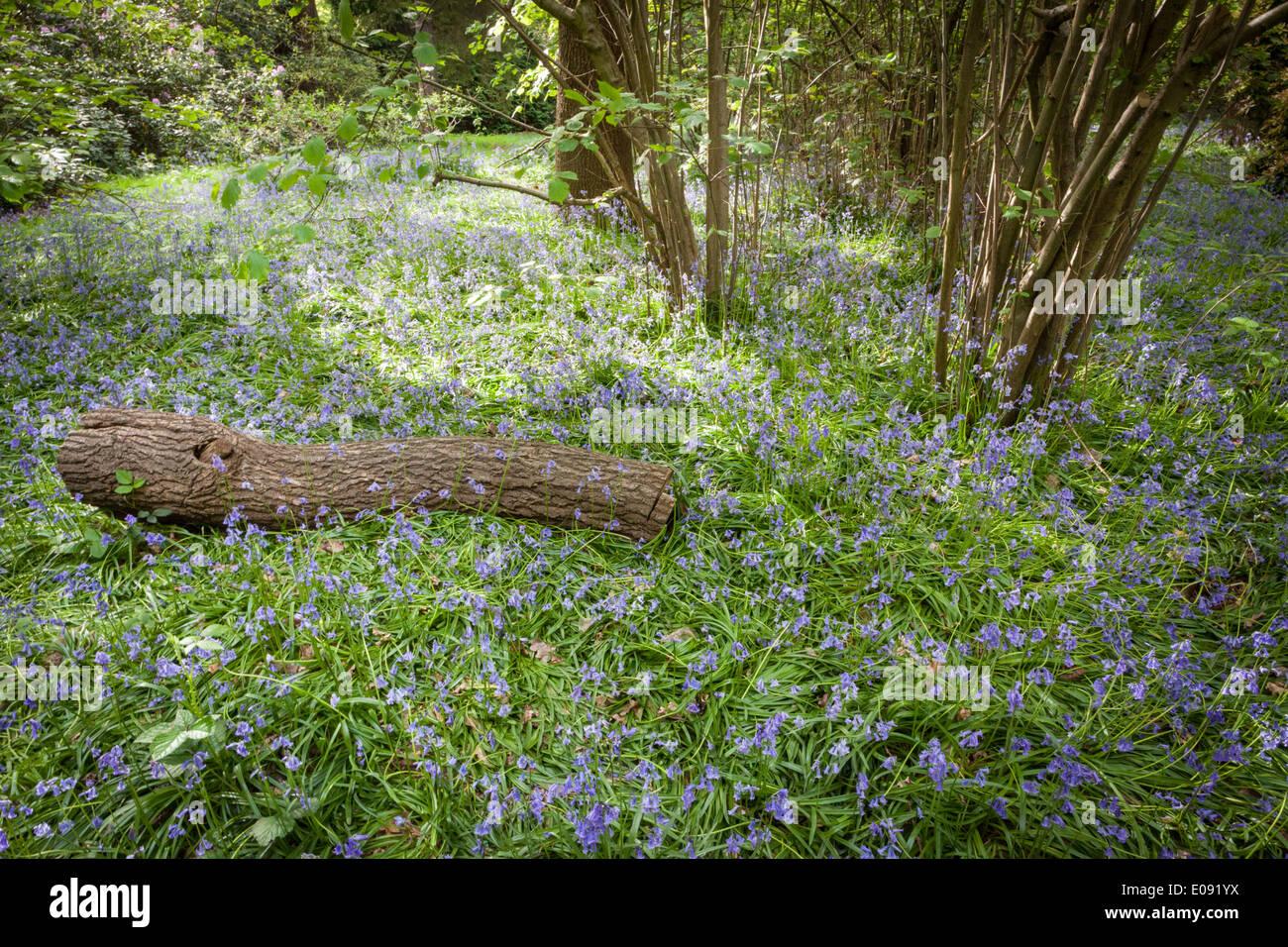 Bluebells in the isabella plantation richmond park