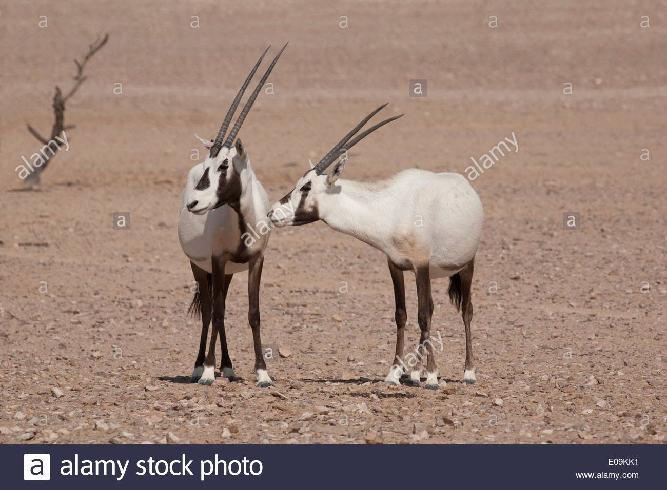 Oman, Jaluni, Arabian Oryx Sanctuary, Two Arabian Oryx ...