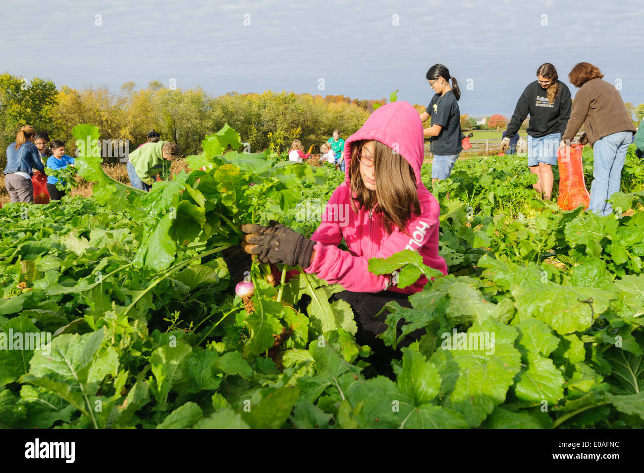 Volunteers harvest fall crops such as cabbage, turnips and ...