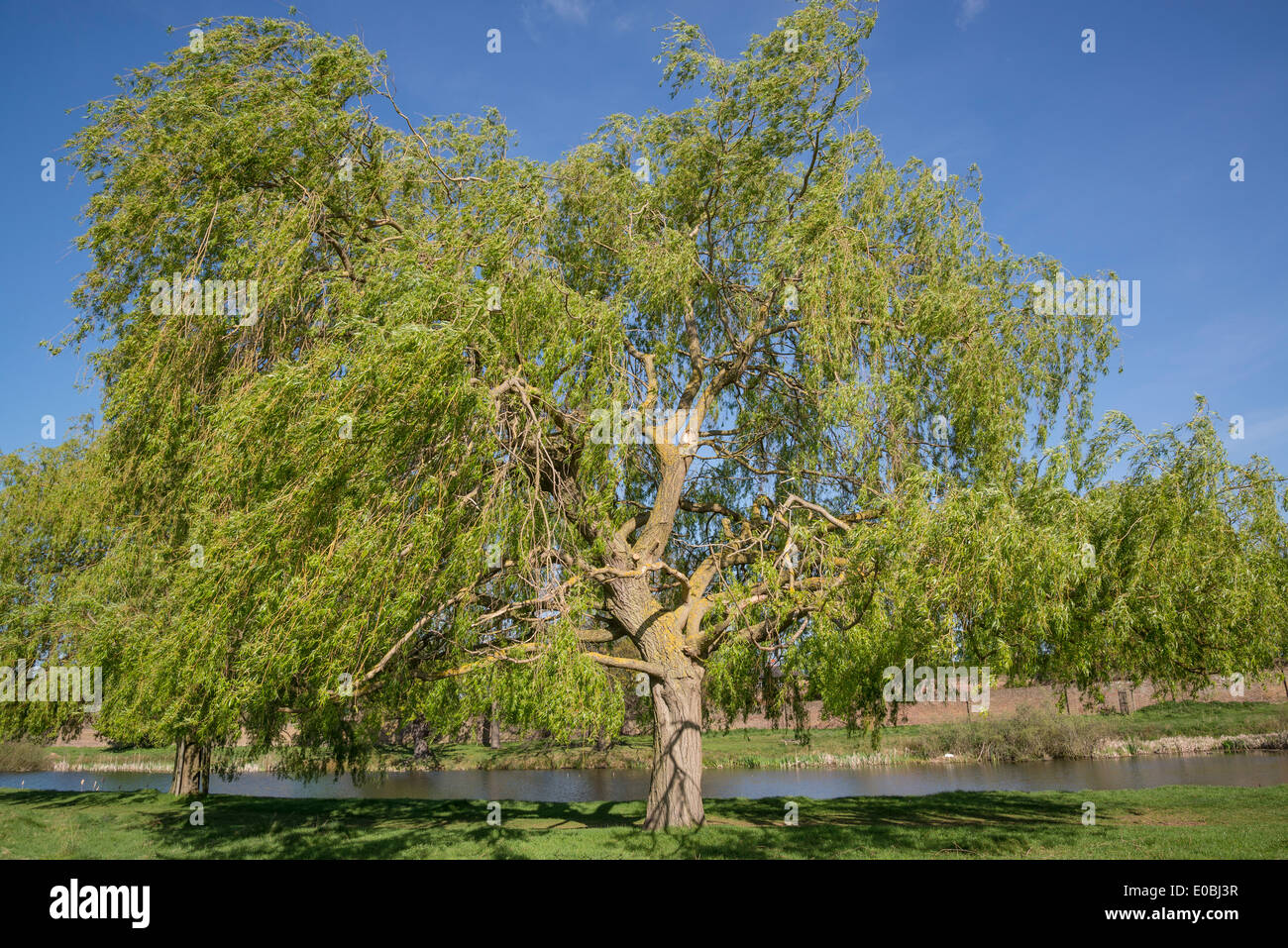 Weeping Willow Tree Home Park Hampton Wick Kingston Surrey UK
