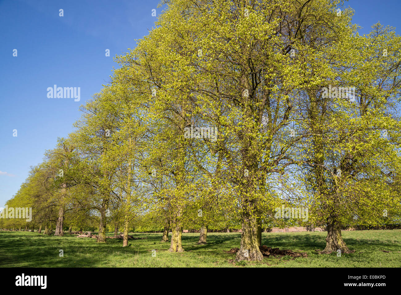 Beech Trees In Spring Home Park Kingston Surrey England London UK