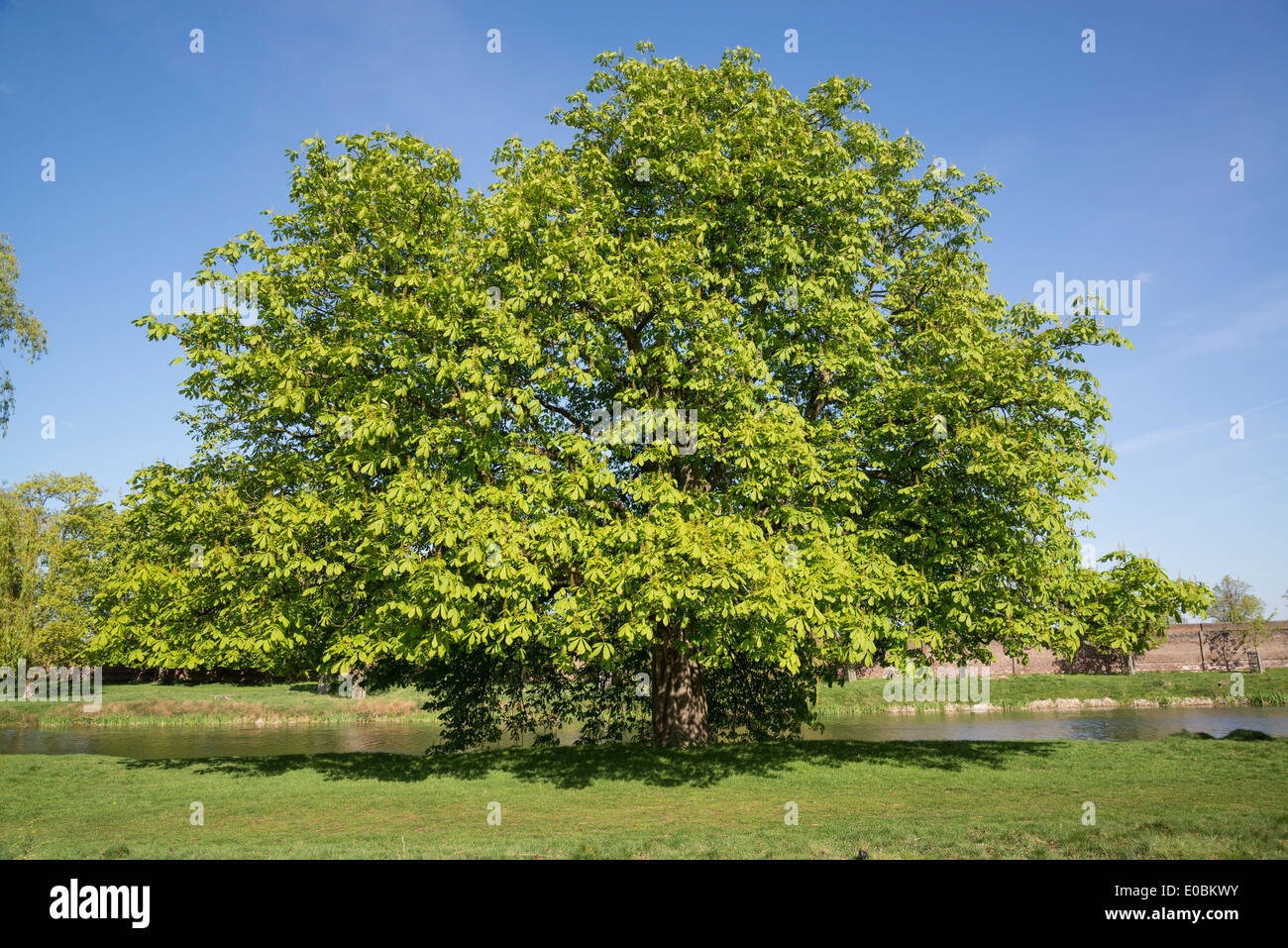 Horse Chestnut Tree In Spring Home Park Hampton Wick Kingston London UK