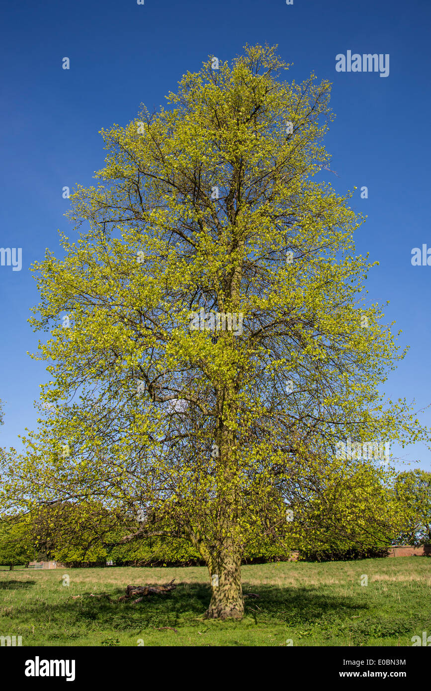 Beech Tree In Spring Home Park Kingston Surrey England London UK
