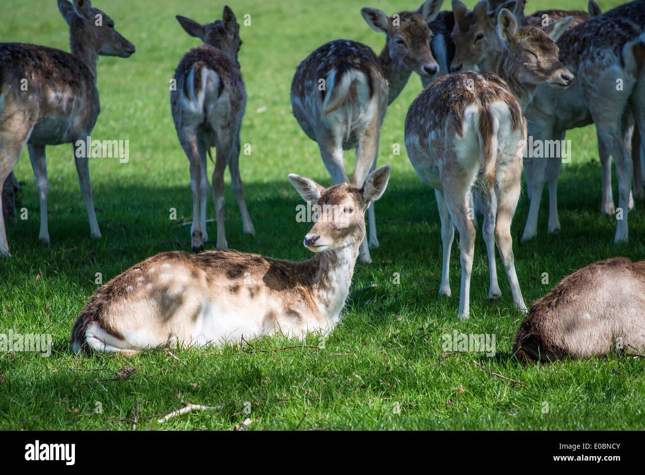 Young Fallow Deer In Home Park Surrey England London UK