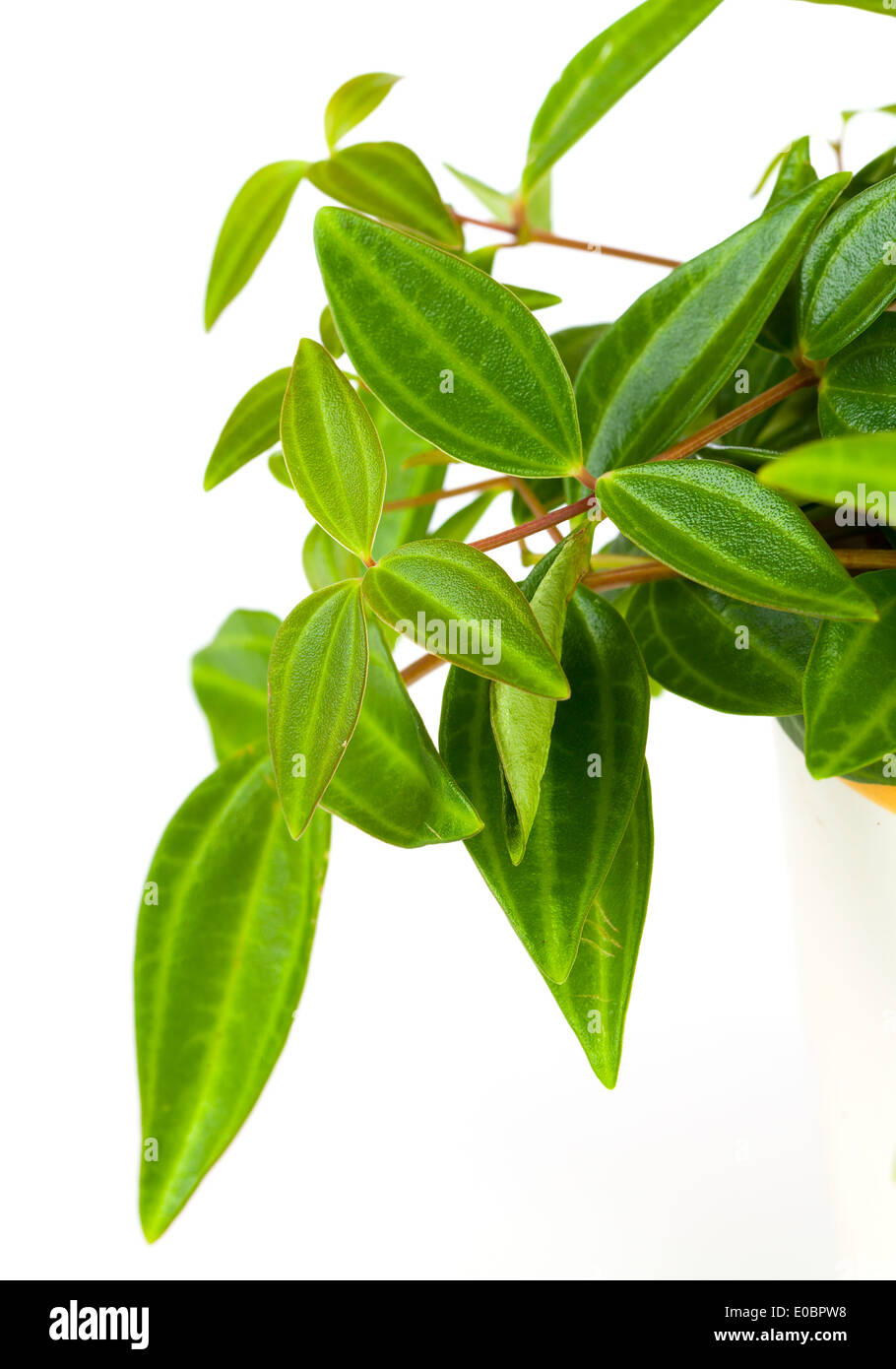 Green Leaf Of Tradescantia Pot Plant Stock Photo Royalty