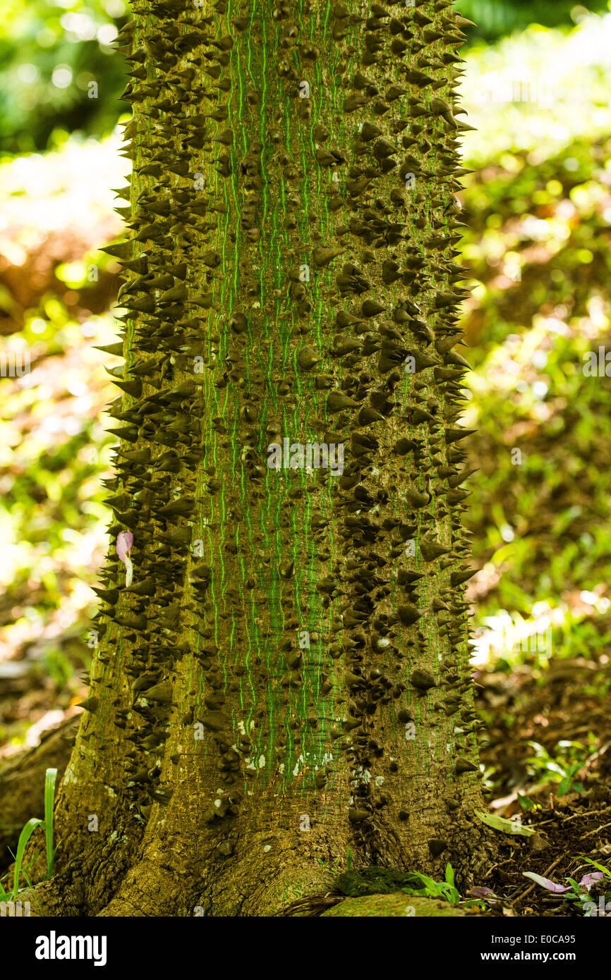 Chorisia Tree, Princeville Botanic Garden, Kauai, Hawaii, USA