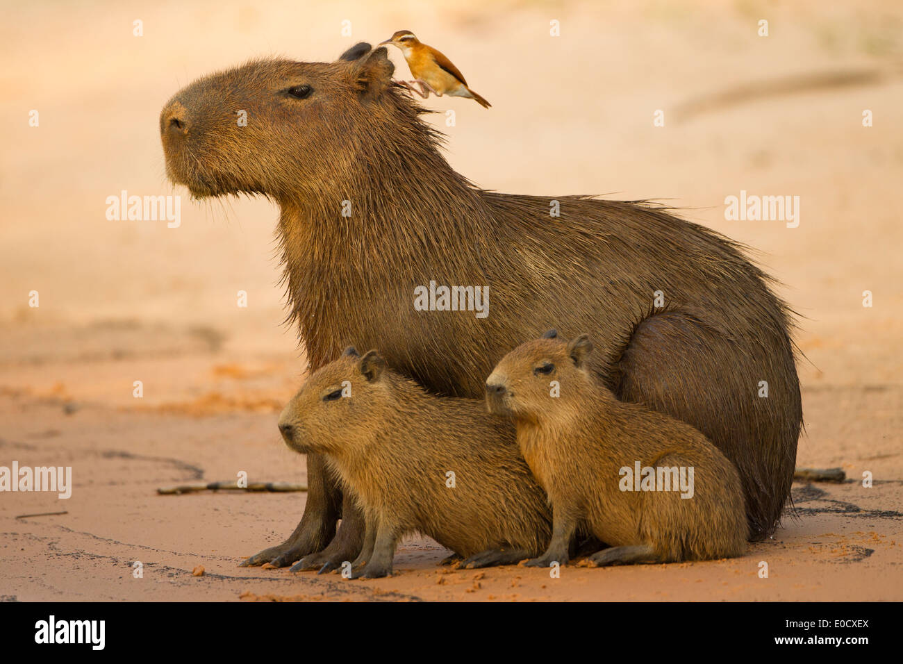 Capybara, the world's largest rodent, adult with young on ...