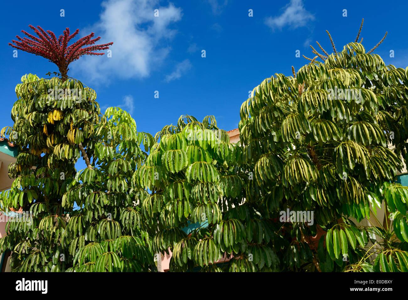 flowering-umbrella-tree-in-downtown-vara