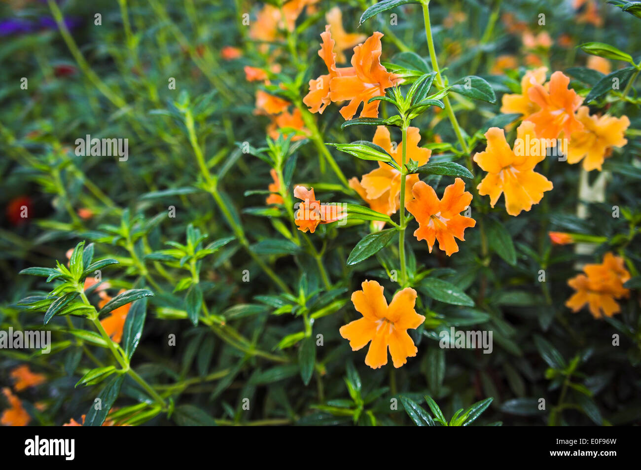 sticky, orange bush monkeyflower, mimulus aurantiacus, gardening, Beautiful flower