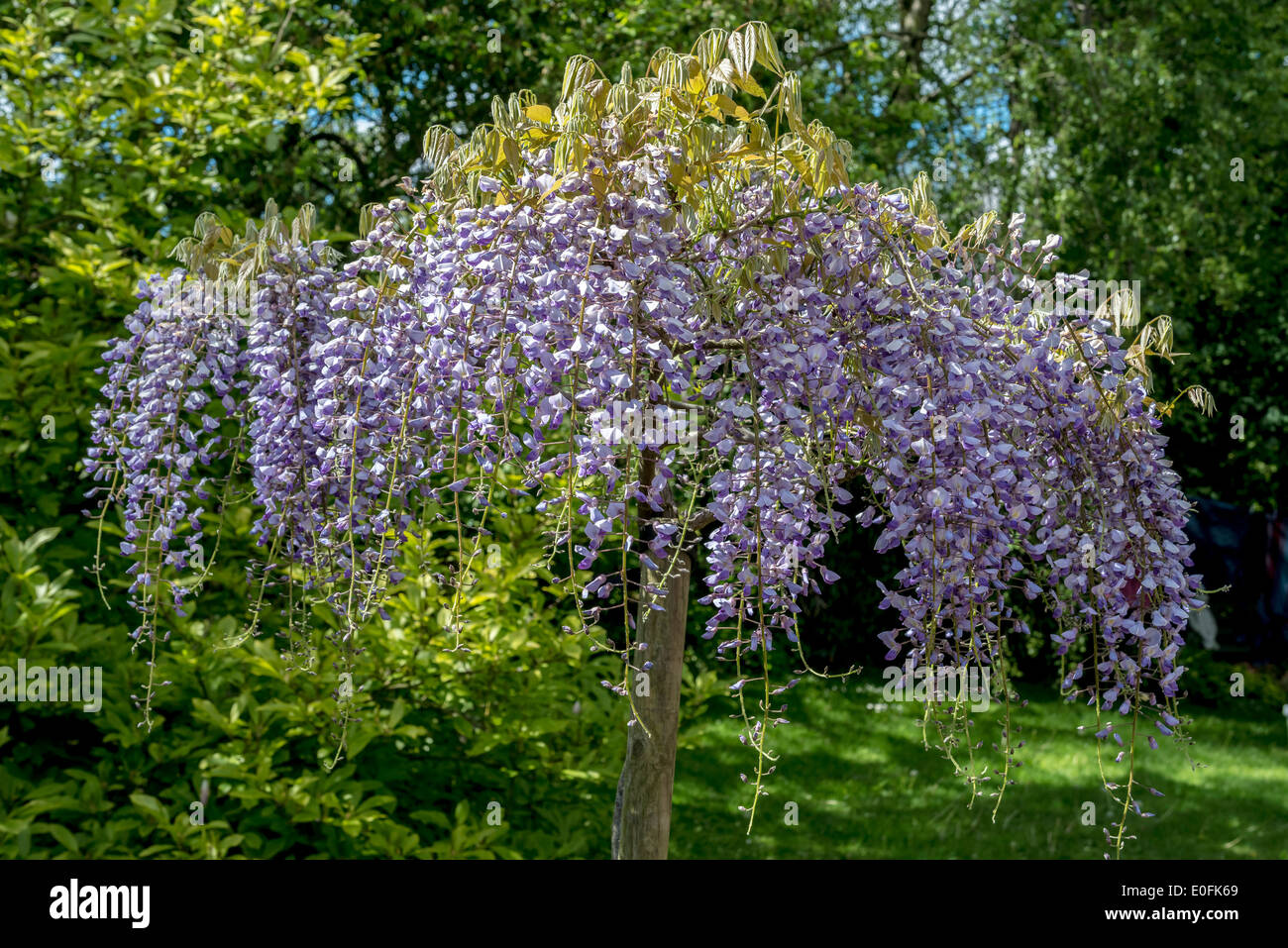 A wisteria sinensis plant as a specimen tree stock photo for Specimen trees