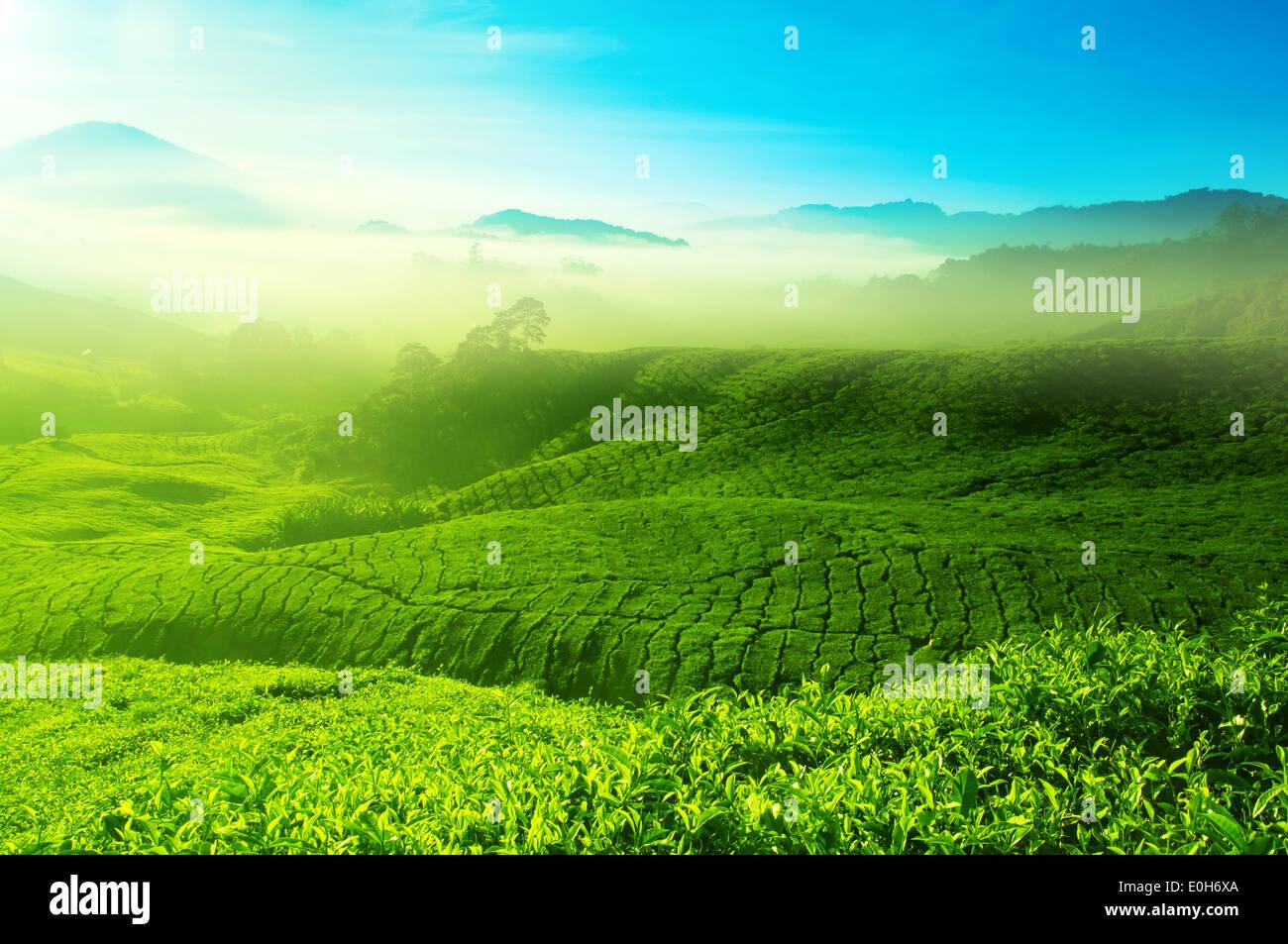 beautiful tea plantation landscape Stock Photo, Royalty Free Image ...