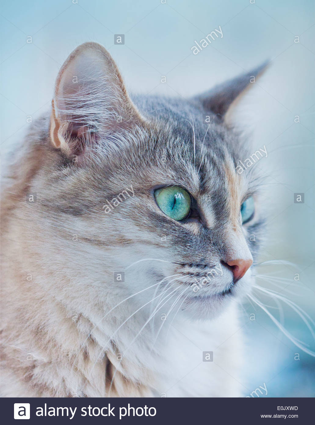 Grey cat with green eyes Stock Royalty Free Image