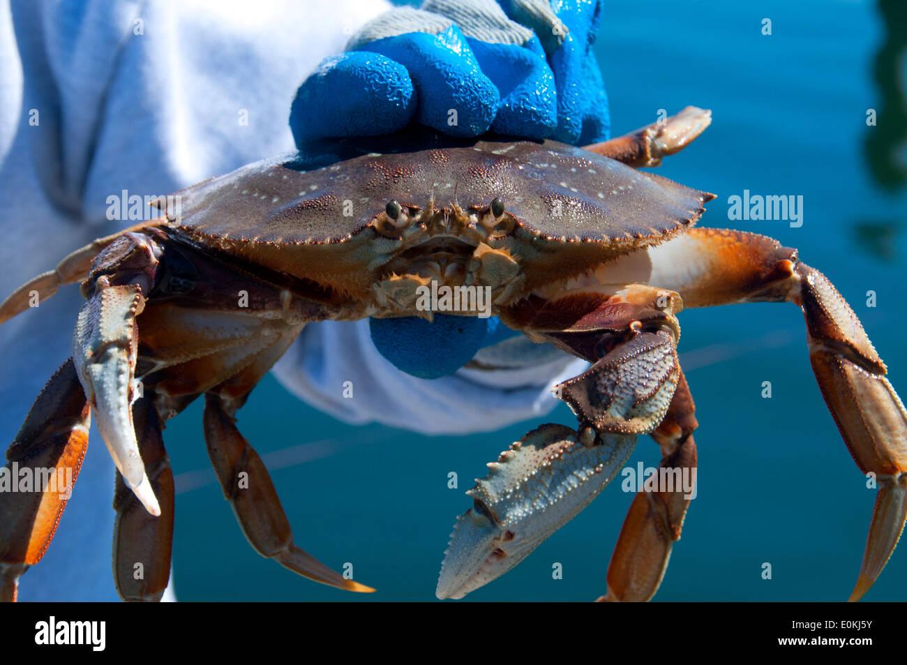 Crab charleston oregon stock photo royalty free image for Crab fishing oregon