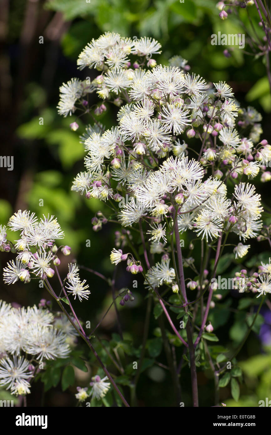 powderpuff-flowers-of-the-meadow-rue-tha