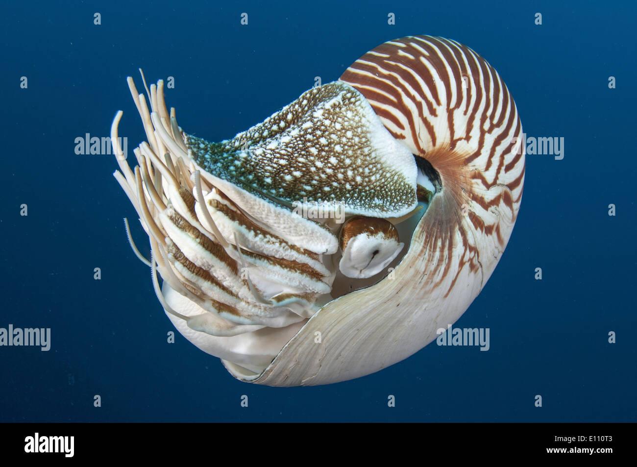Deep sea creature, Nautilus, Palau (Nautilus belauensis Stock Photo ... Pacific Ocean Underwater Animals