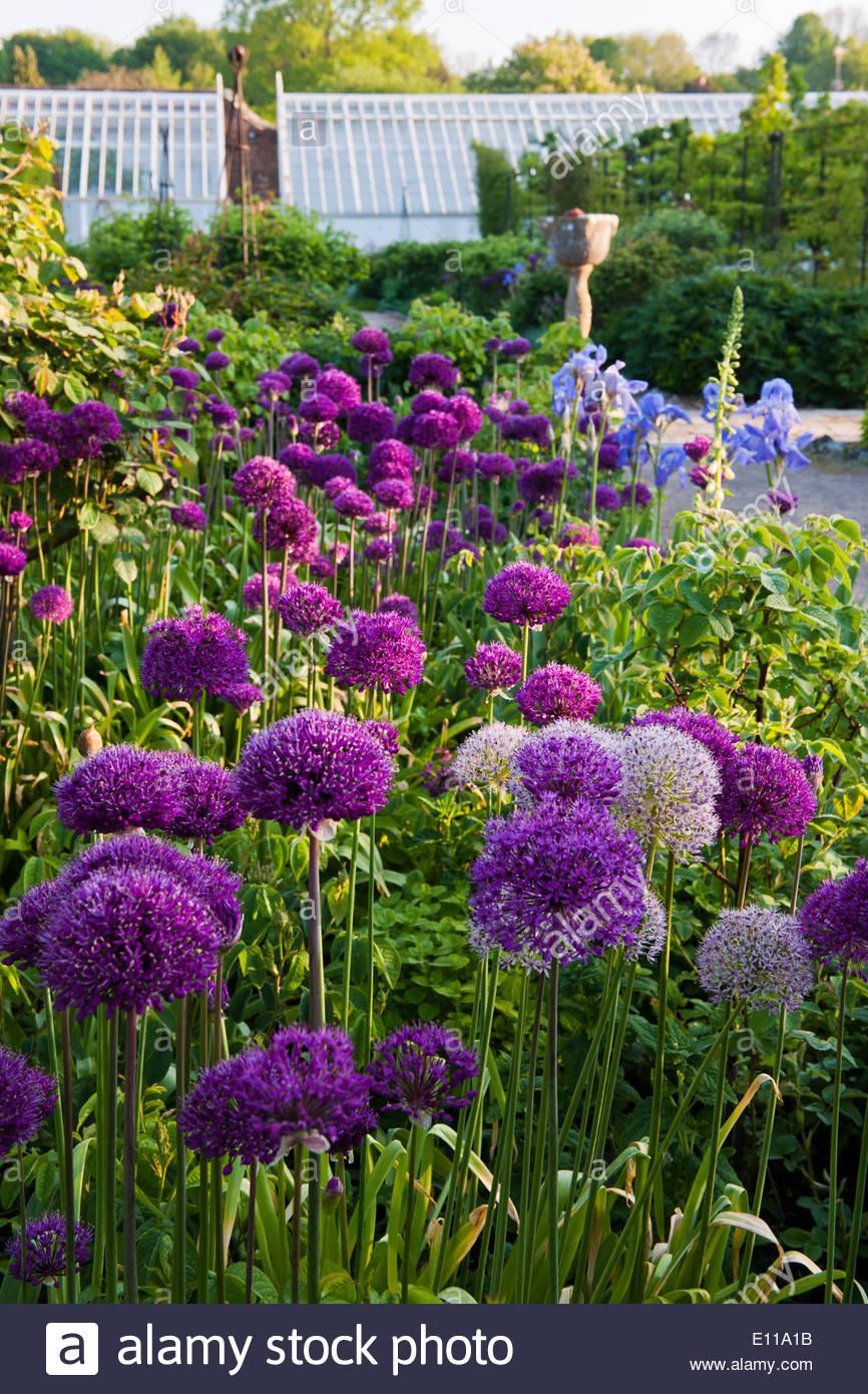 allium hollandicum purple sensation dutch garlic giant ornamental stock photo royalty free. Black Bedroom Furniture Sets. Home Design Ideas