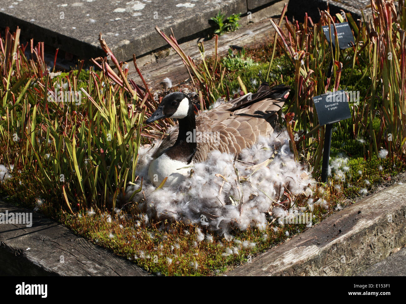 Canada Goose vest online price - Goose Flower Stock Photos & Goose Flower Stock Images - Alamy