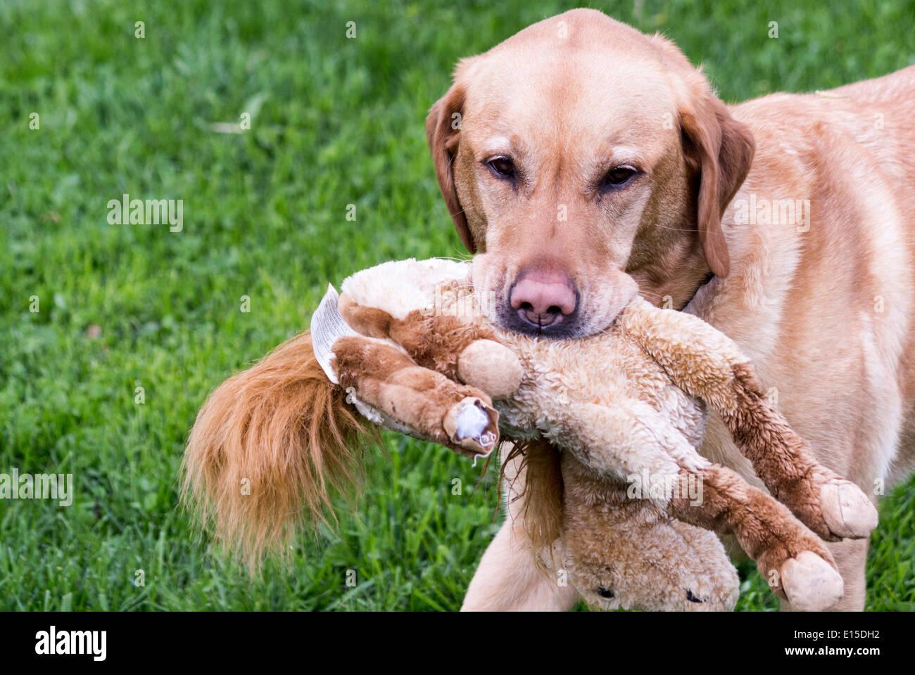 Yellow Labrador Retriever Dog Carrying A Toy Stuffed Horse