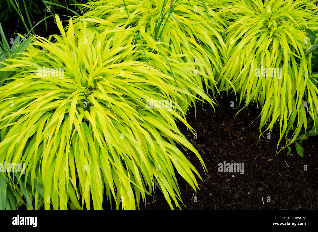 Hakonechloa macra all gold or japanese forest grass for Japanese ornamental grass