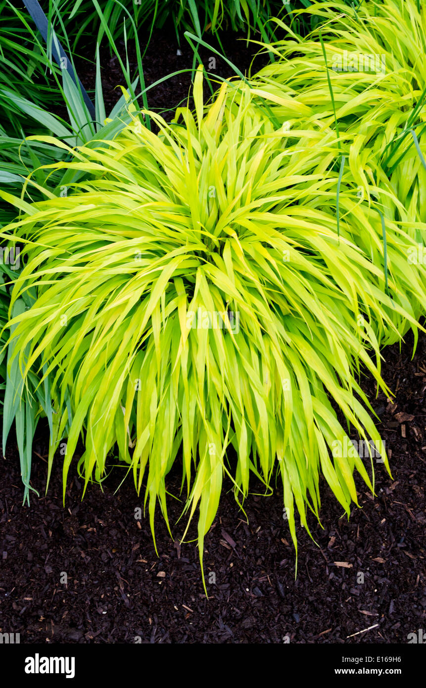 Japanese ornamental grass images for Red and green ornamental grass