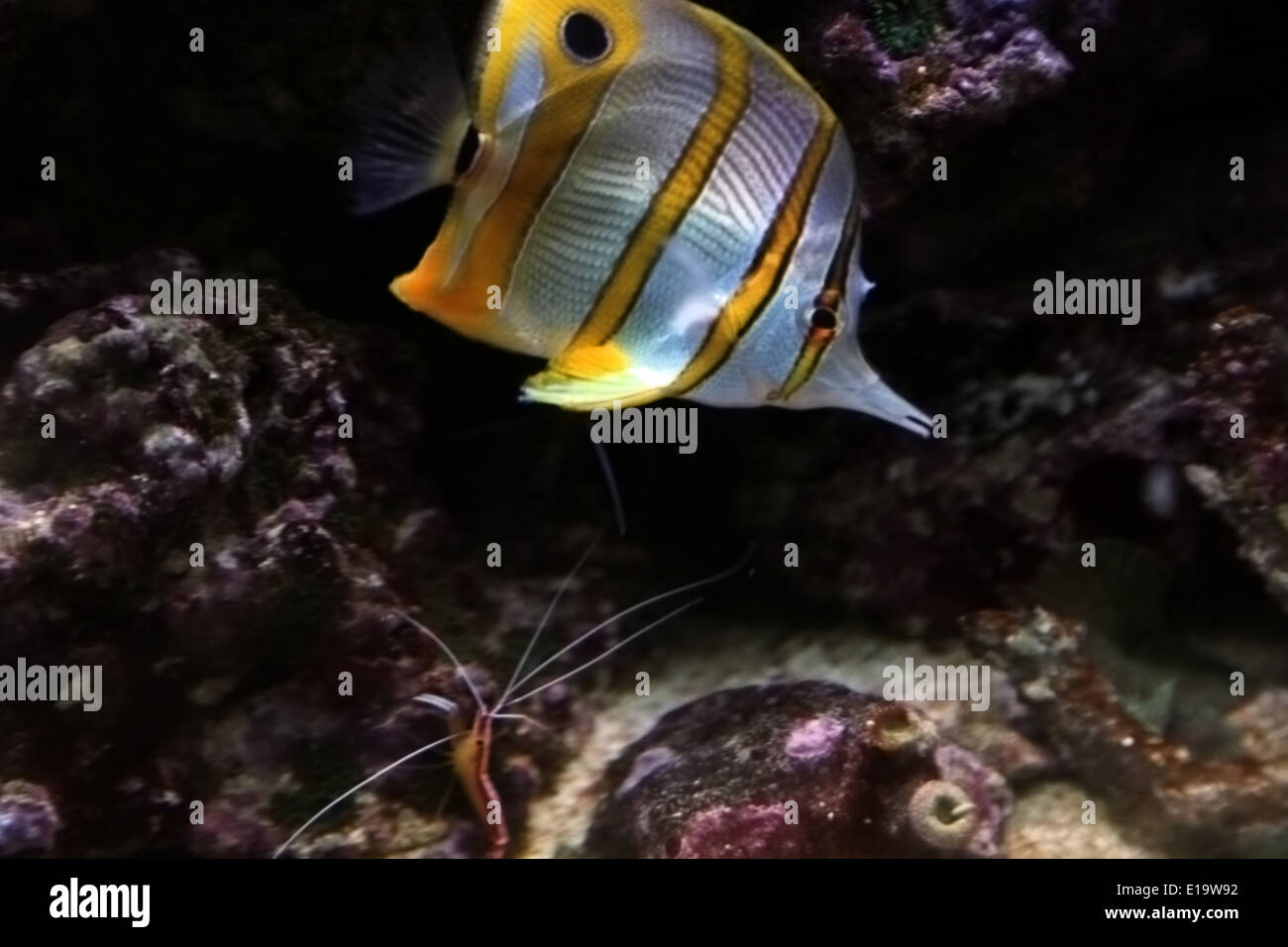 Copperband butterflyfish chelmon rostratus with white for White fungus on fish
