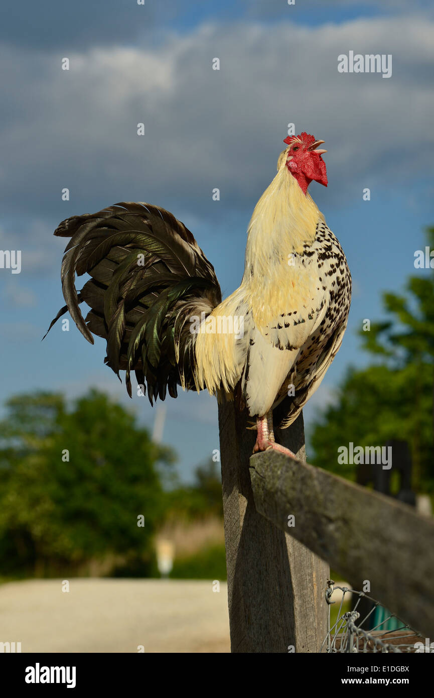 rooster-crowing-proudly-on-wood-fence-E1