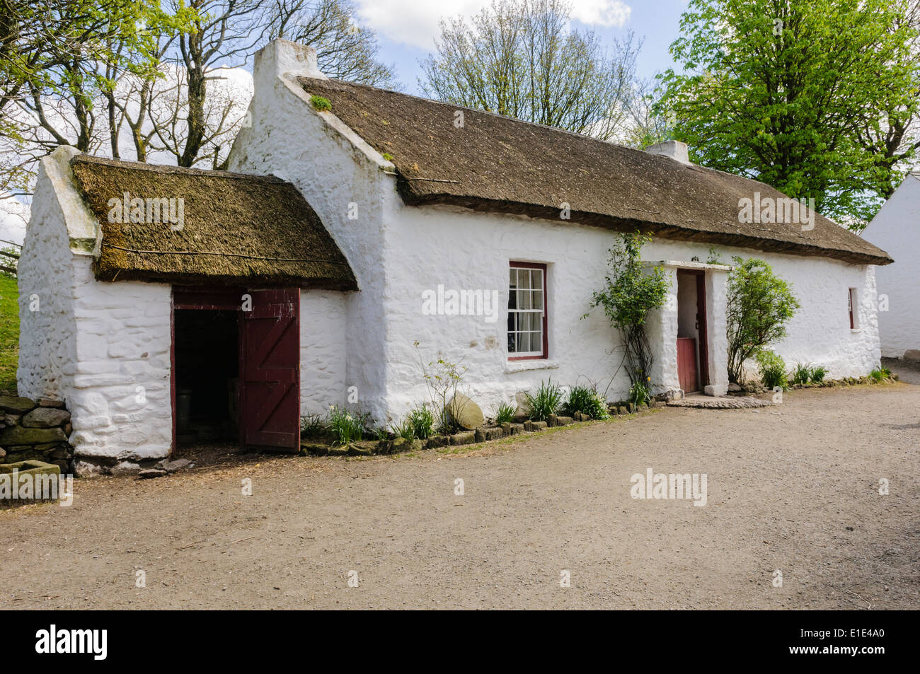 A Traditional Irish Rural Farmhouse With Thatched Roof And Whitewashed Walls In The Ulster American Folk Park Northern Ireland