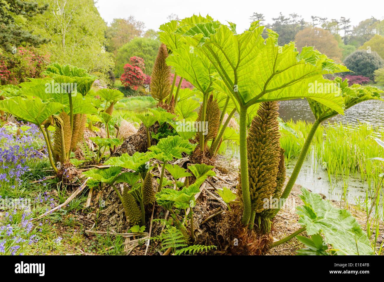 Gunnera plants in flower beside a lake Stock Photo 69767023 Alamy