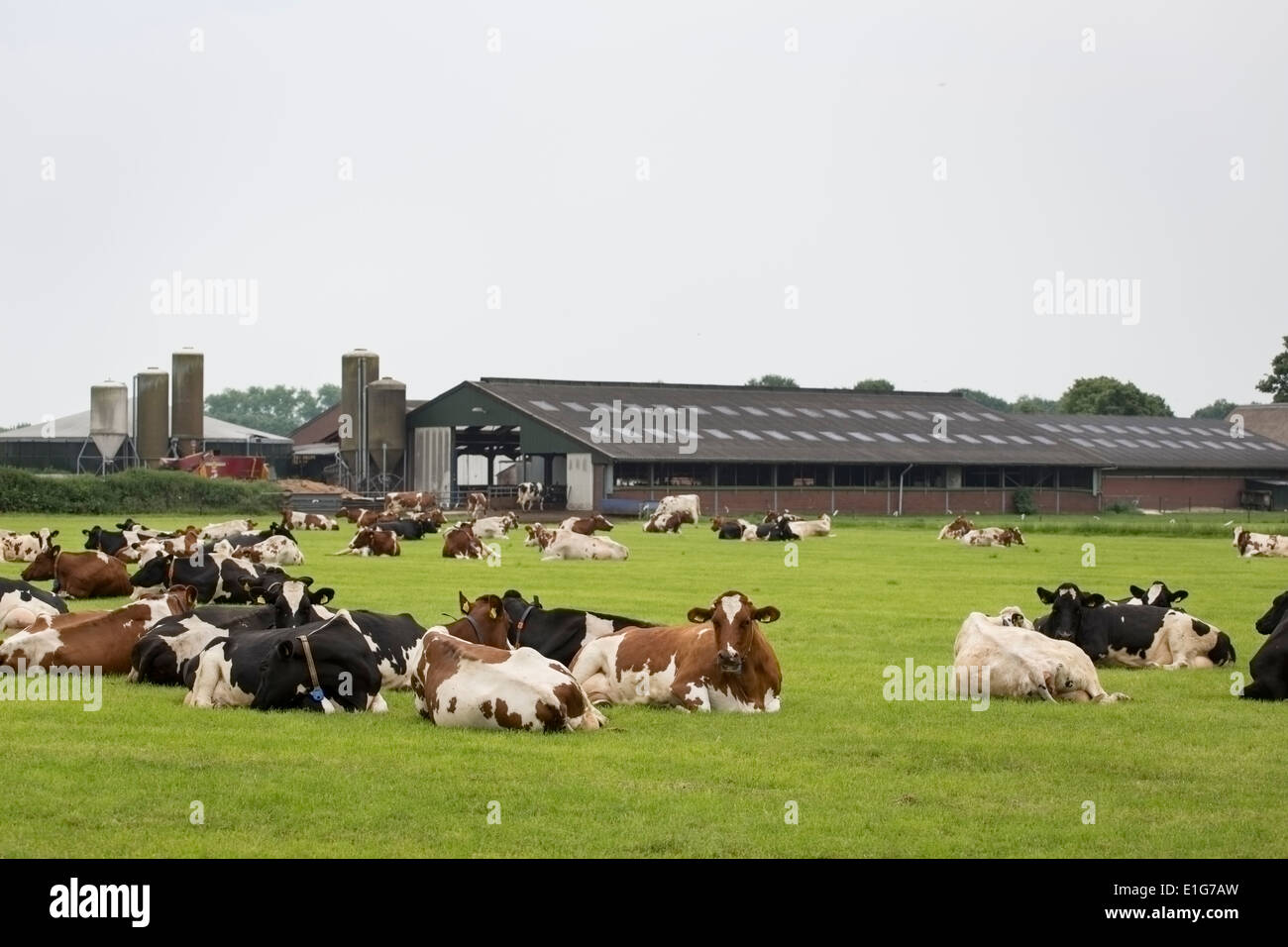 Cows in front of a dairy farm in the netherlands stock Farm house netherlands
