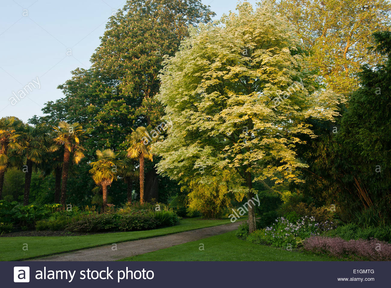 Acer platanoides drummondii variegated norway maple gravel - Arce platanoide ...