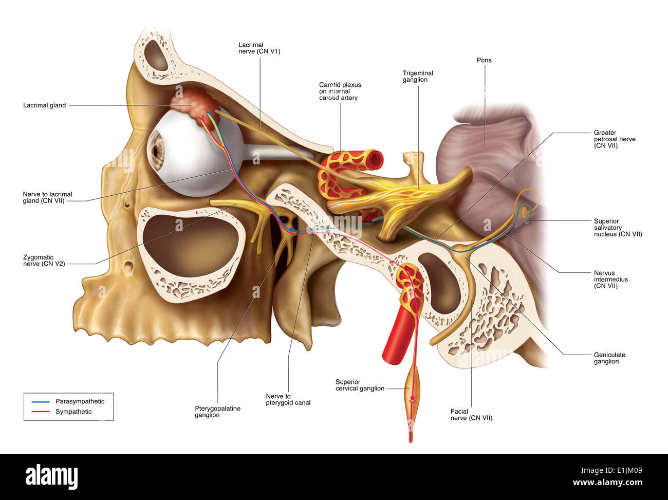 Anatomical Pathways Of Innervation To The Lacrimal Gland Stock ...